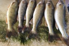 Good fishing at Devils Lake    7-8-2017